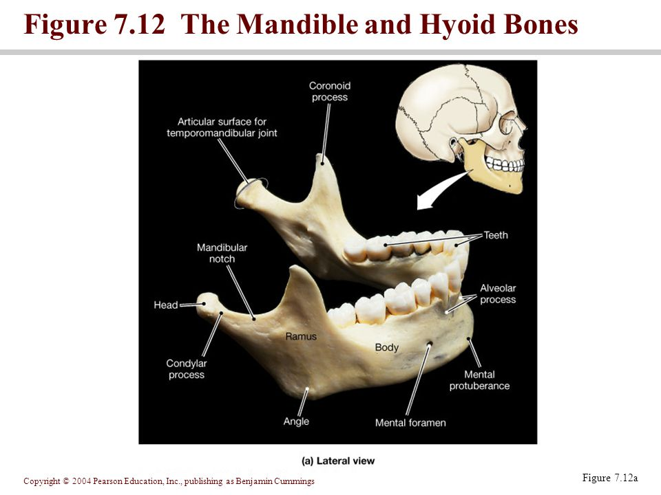 Copyright © 2004 Pearson Education, Inc., publishing as Benjamin Cummings Figure 7.12 The Mandible and Hyoid Bones Figure 7.12a