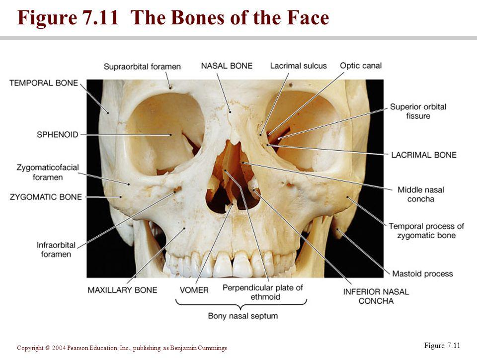 Copyright © 2004 Pearson Education, Inc., publishing as Benjamin Cummings Figure 7.11 The Bones of the Face Figure 7.11