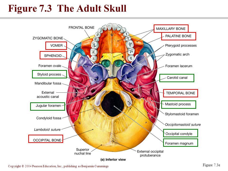 Copyright © 2004 Pearson Education, Inc., publishing as Benjamin Cummings Figure 7.3 The Adult Skull Figure 7.3e