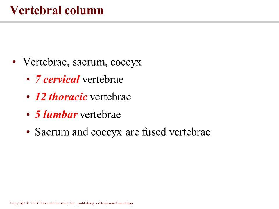 Copyright © 2004 Pearson Education, Inc., publishing as Benjamin Cummings Vertebrae, sacrum, coccyx 7 cervical vertebrae 12 thoracic vertebrae 5 lumba