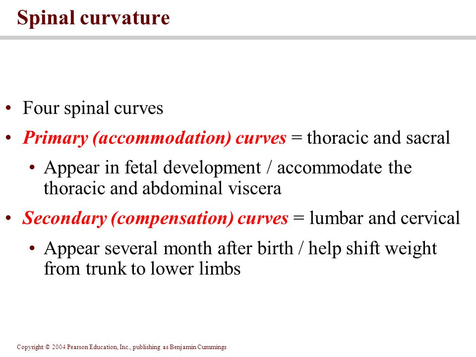 Copyright © 2004 Pearson Education, Inc., publishing as Benjamin Cummings Four spinal curves Primary (accommodation) curves = thoracic and sacral Appe