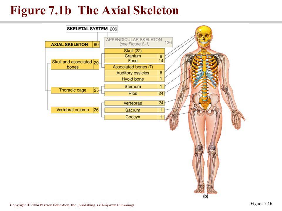 Copyright © 2004 Pearson Education, Inc., publishing as Benjamin Cummings Figure 7.1b The Axial Skeleton Figure 7.1b