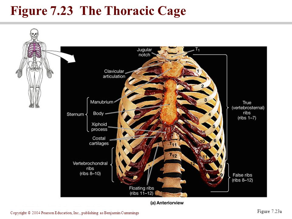 Copyright © 2004 Pearson Education, Inc., publishing as Benjamin Cummings Figure 7.23 The Thoracic Cage Figure 7.23a