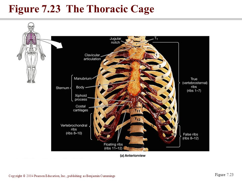 Copyright © 2004 Pearson Education, Inc., publishing as Benjamin Cummings Figure 7.23 The Thoracic Cage Figure 7.23