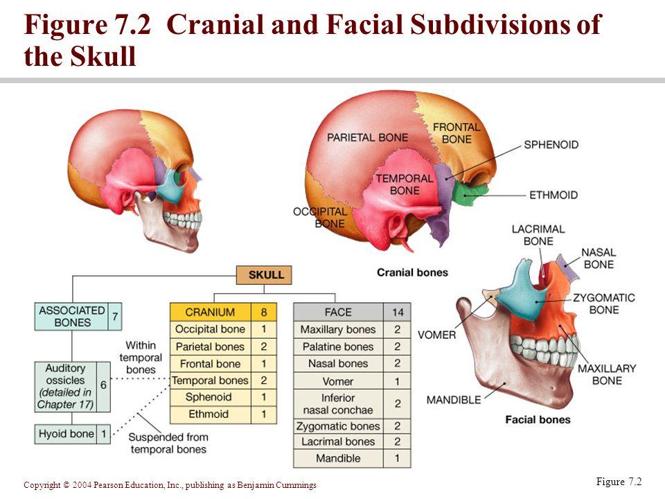 Copyright © 2004 Pearson Education, Inc., publishing as Benjamin Cummings Figure 7.2 Figure 7.2 Cranial and Facial Subdivisions of the Skull