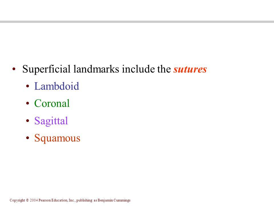 Copyright © 2004 Pearson Education, Inc., publishing as Benjamin Cummings Superficial landmarks include the sutures Lambdoid Coronal Sagittal Squamous