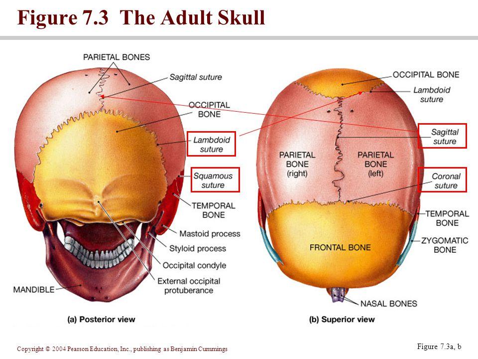 Copyright © 2004 Pearson Education, Inc., publishing as Benjamin Cummings Figure 7.3 The Adult Skull Figure 7.3a, b