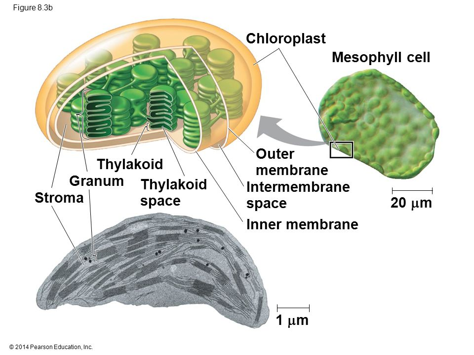 © 2014 Pearson Education, Inc. Figure 8.3b 20  m Mesophyll cell Chloroplast Stroma Thylakoid space Outer membrane Intermembrane space Inner membrane