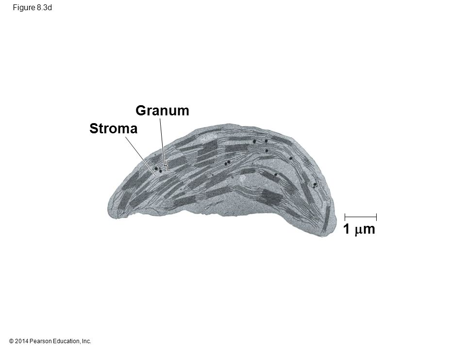 © 2014 Pearson Education, Inc. Figure 8.3d Stroma Granum 1  m