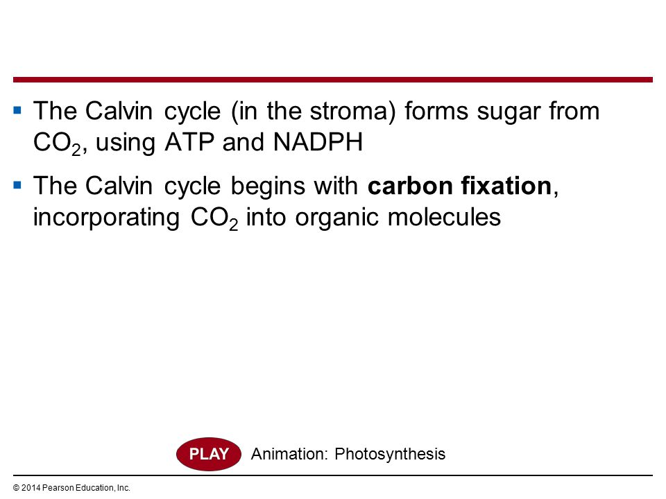  The Calvin cycle (in the stroma) forms sugar from CO 2, using ATP and NADPH  The Calvin cycle begins with carbon fixation, incorporating CO 2 into