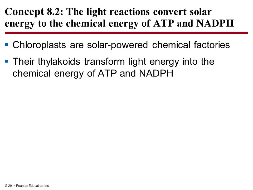 C oncept 8.2: The light reactions convert solar energy to the chemical energy of ATP and NADPH  Chloroplasts are solar-powered chemical factories  T