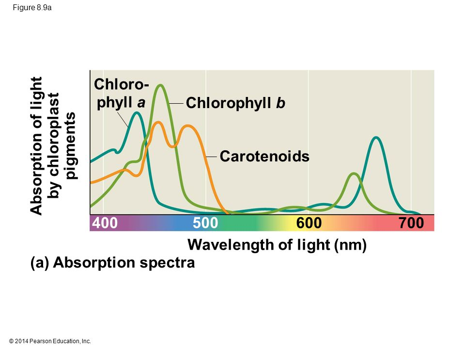 © 2014 Pearson Education, Inc. Figure 8.9a Chloro- phyll a Absorption of light by chloroplast pigments Chlorophyll b Carotenoids (a) Absorption spectr