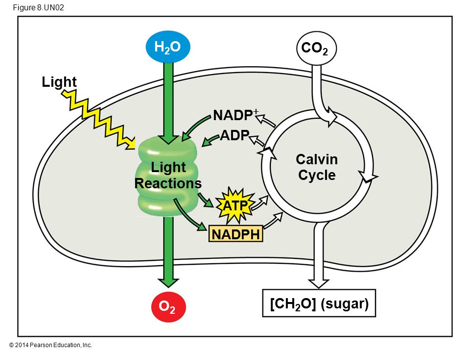 Figure 8.UN02 Calvin Cycle NADPH NADP  ATP ADP Light CO 2 [CH 2 O] (sugar) Light Reactions O2O2 H2OH2O