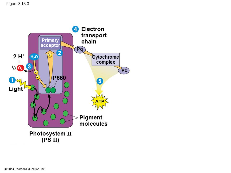 © 2014 Pearson Education, Inc. Figure 8.13-3 Primary acceptor 2 H  O2O2  ATP Photosystem II (PS II ) H2OH2O Light  2 1 P680 Pq Electron transport c