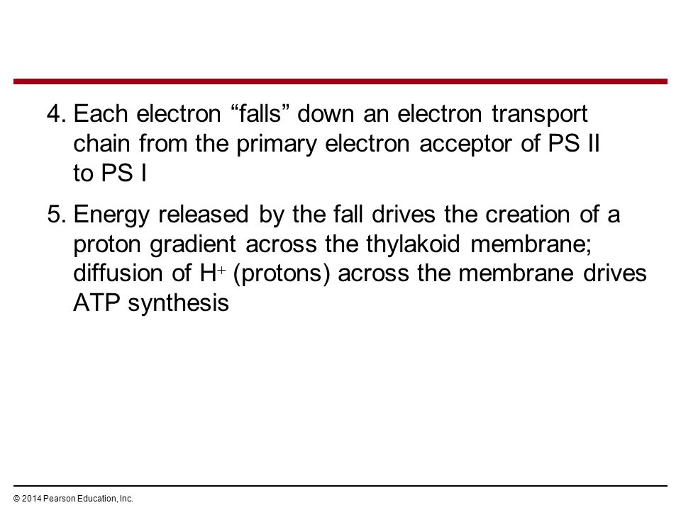 "4.Each electron ""falls"" down an electron transport chain from the primary electron acceptor of PS II to PS I 5.Energy released by the fall drives the"