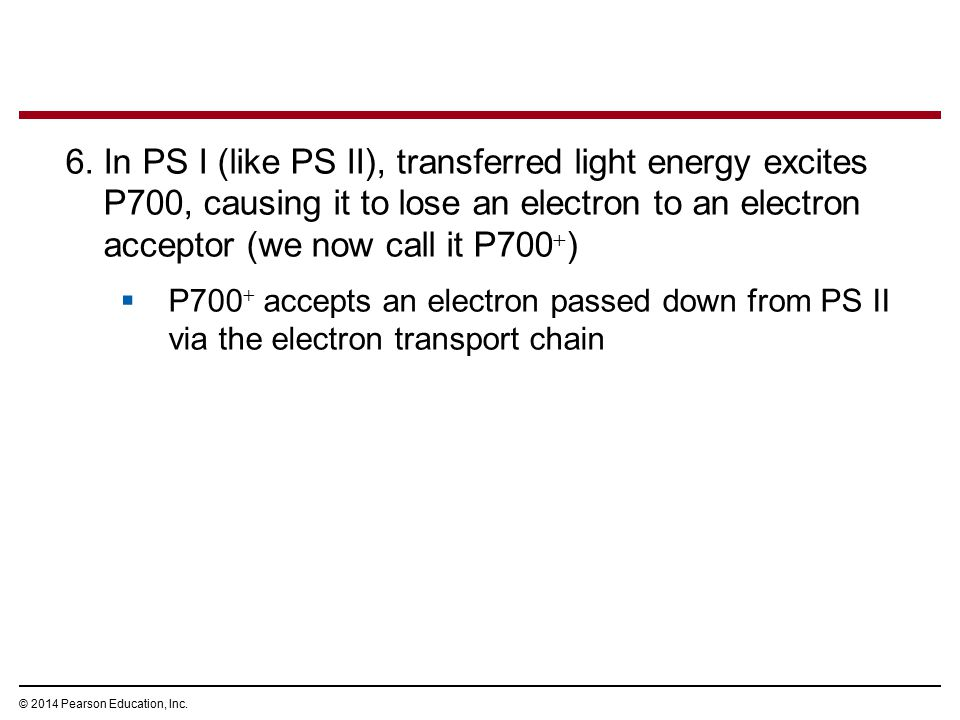 6.In PS I (like PS II), transferred light energy excites P700, causing it to lose an electron to an electron acceptor (we now call it P700  )  P700