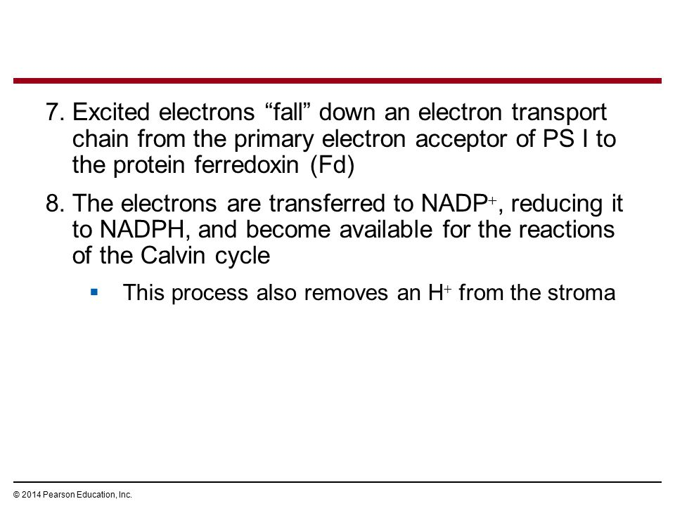 "7.Excited electrons ""fall"" down an electron transport chain from the primary electron acceptor of PS I to the protein ferredoxin (Fd) 8.The electrons"
