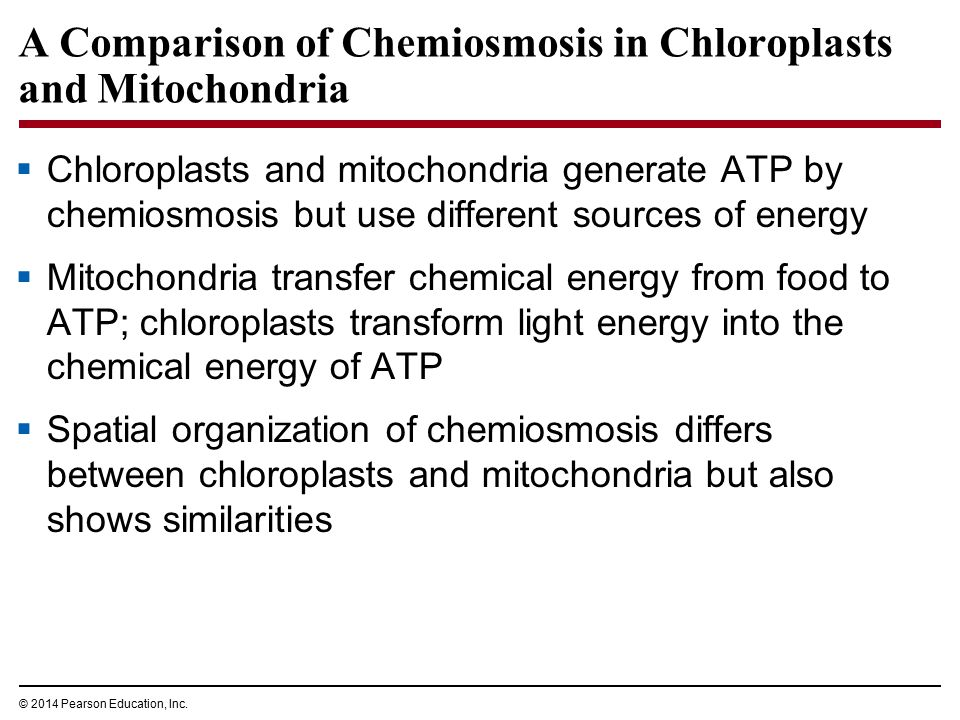 A Comparison of Chemiosmosis in Chloroplasts and Mitochondria  Chloroplasts and mitochondria generate ATP by chemiosmosis but use different sources o