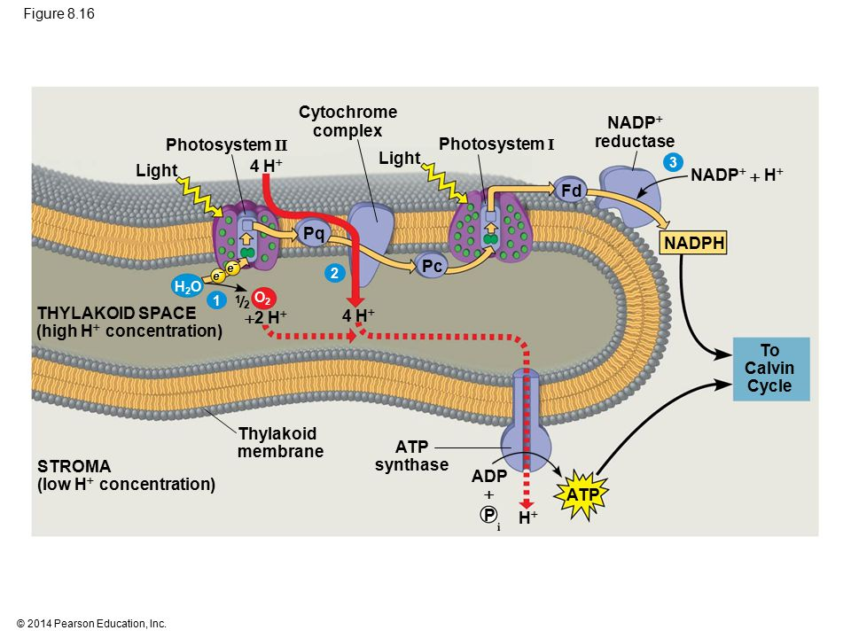 © 2014 Pearson Education, Inc. Figure 8.16 Photosystem II Photosystem I To Calvin Cycle HH THYLAKOID SPACE (high H  concentration) Thylakoid membra