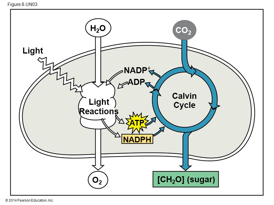 Figure 8.UN03 Calvin Cycle NADPH NADP  ATP ADP Light CO 2 [CH 2 O] (sugar) Light Reactions O2O2 H2OH2O