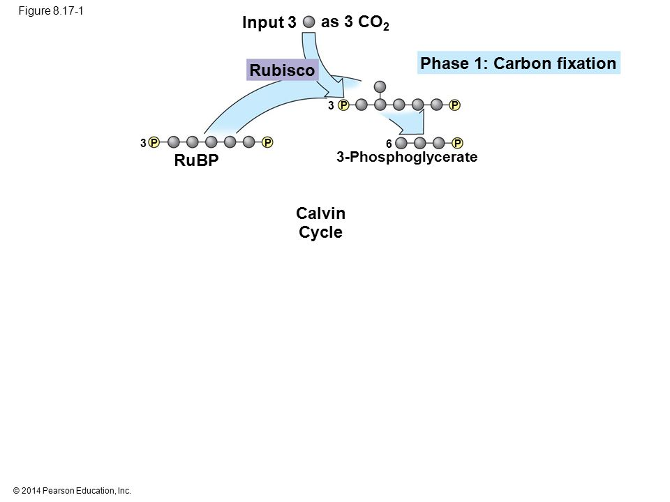 © 2014 Pearson Education, Inc. Figure 8.17-1 Input 3 Calvin Cycle as 3 CO 2 Rubisco Phase 1: Carbon fixation RuBP 3-Phosphoglycerate 6 3 3 P P PP P