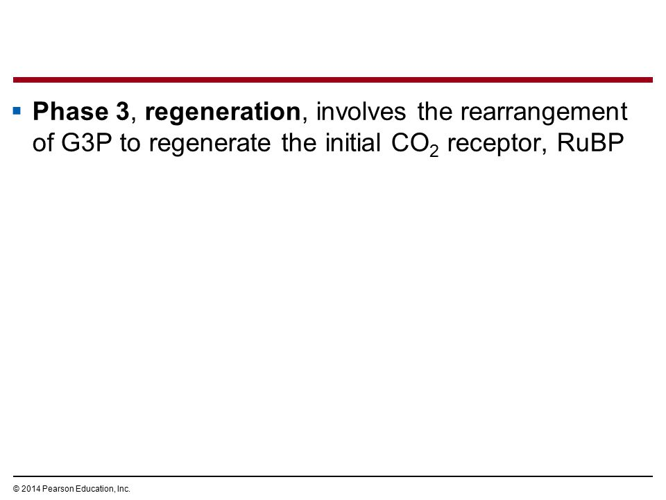  Phase 3, regeneration, involves the rearrangement of G3P to regenerate the initial CO 2 receptor, RuBP © 2014 Pearson Education, Inc.