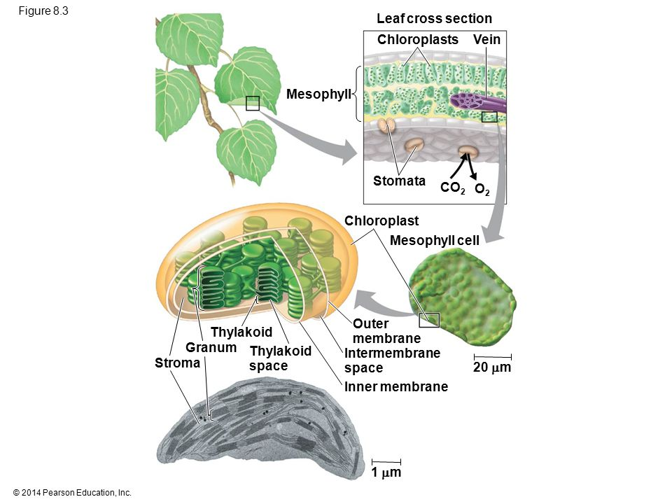 Figure 8.3 Leaf cross section 20  m Mesophyll Stomata Chloroplasts Vein CO 2 O2O2 Mesophyll cell Chloroplast Stroma Thylakoid space Outer membrane In