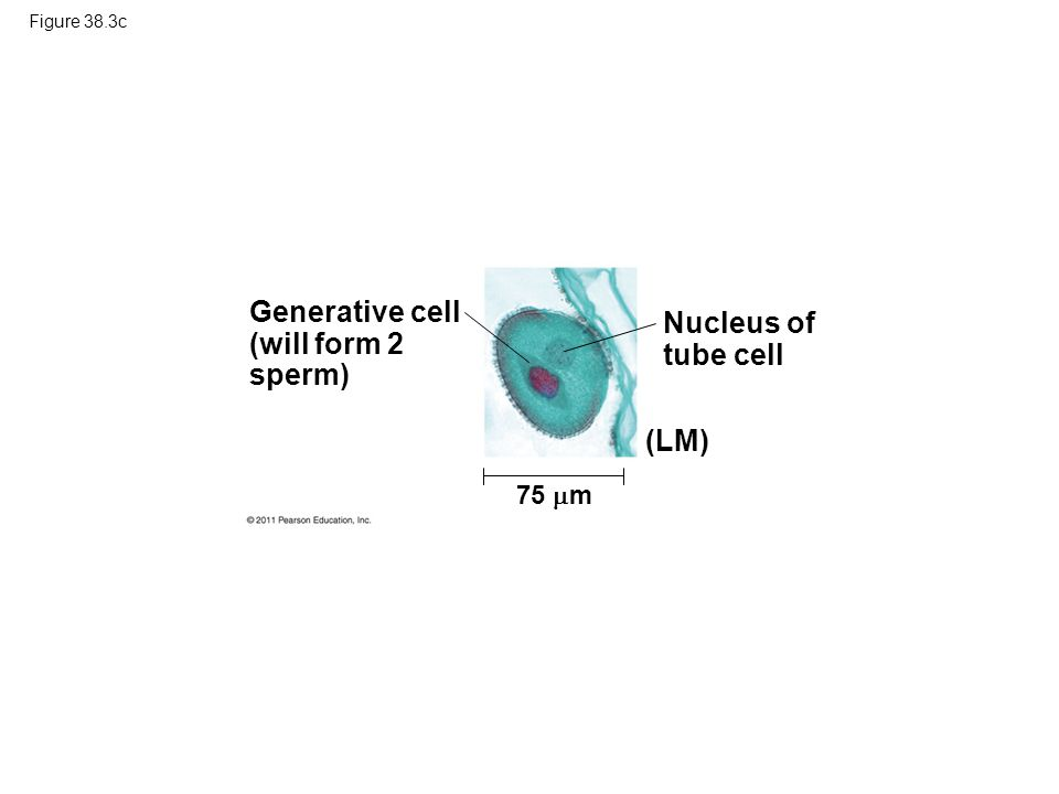 Figure 38.3c Generative cell (will form 2 sperm) 75  m Nucleus of tube cell (LM)