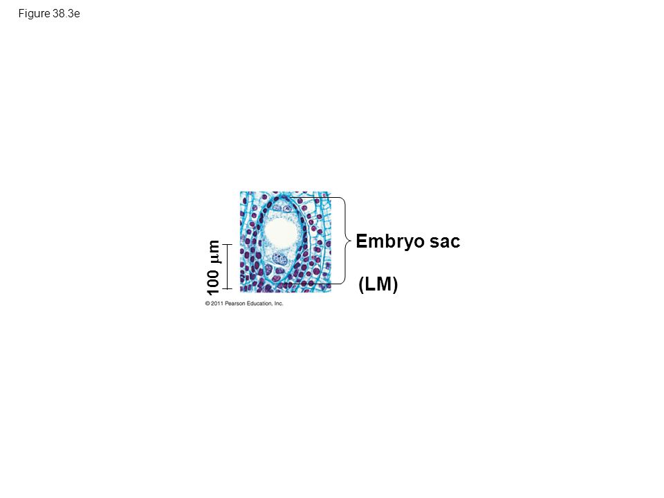Figure 38.3e 100  m (LM) Embryo sac
