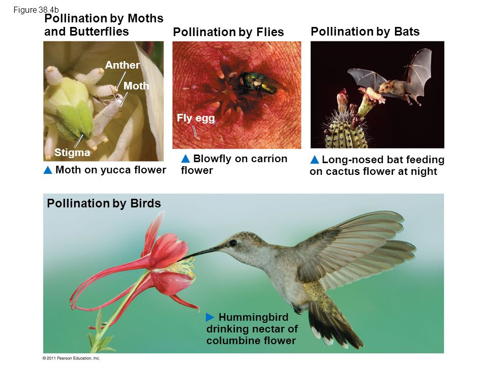 Pollination by Moths and Butterflies Blowfly on carrion flower Pollination by Flies Pollination by Bats Moth on yucca flower Long-nosed bat feeding on