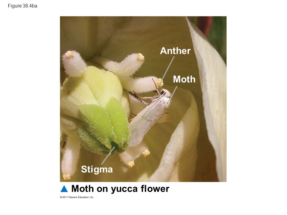 Figure 38.4ba Moth on yucca flower Stigma Anther Moth