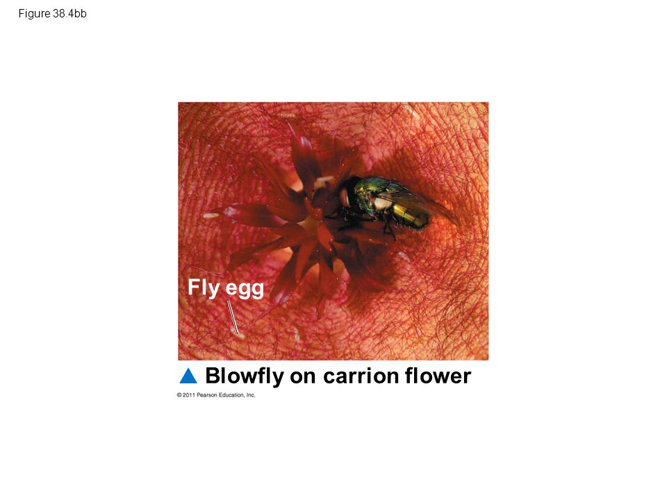 Figure 38.4bb Blowfly on carrion flower Fly egg