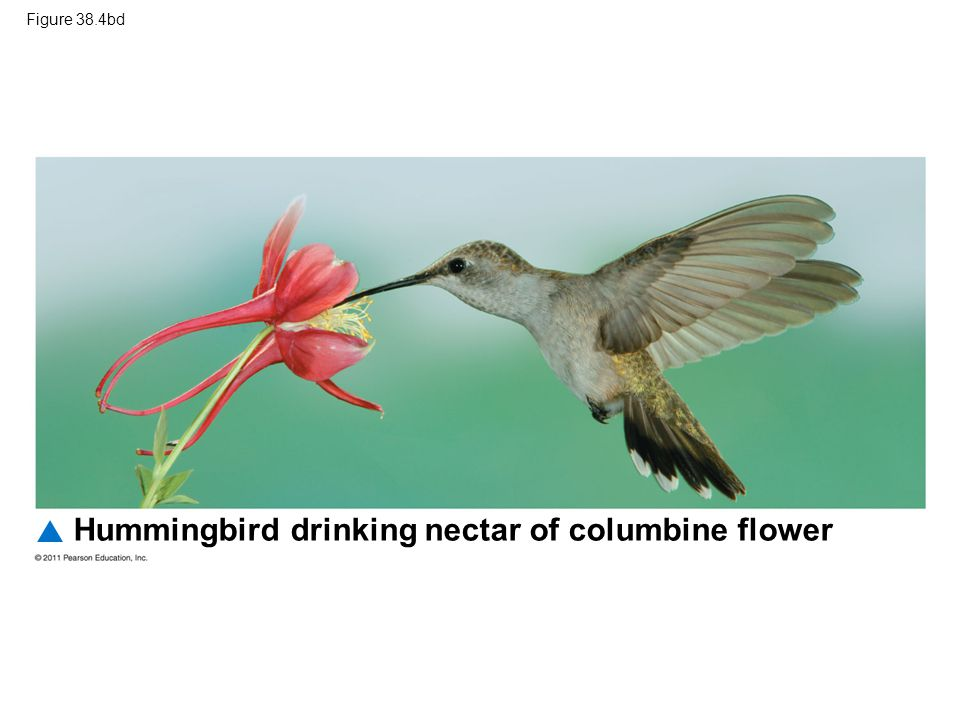 Figure 38.4bd Hummingbird drinking nectar of columbine flower