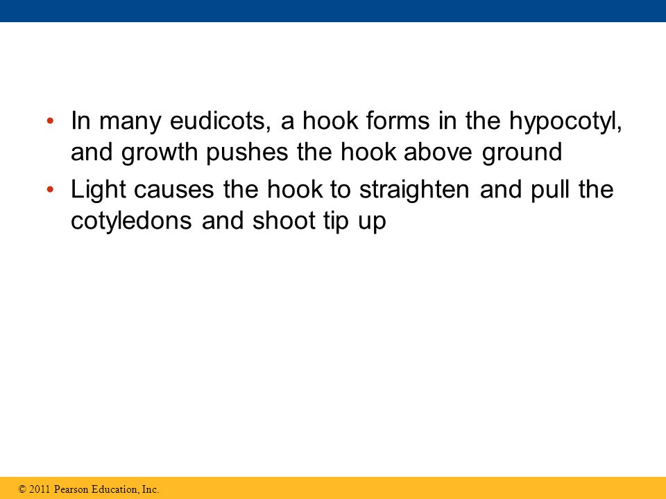 In many eudicots, a hook forms in the hypocotyl, and growth pushes the hook above ground Light causes the hook to straighten and pull the cotyledons a