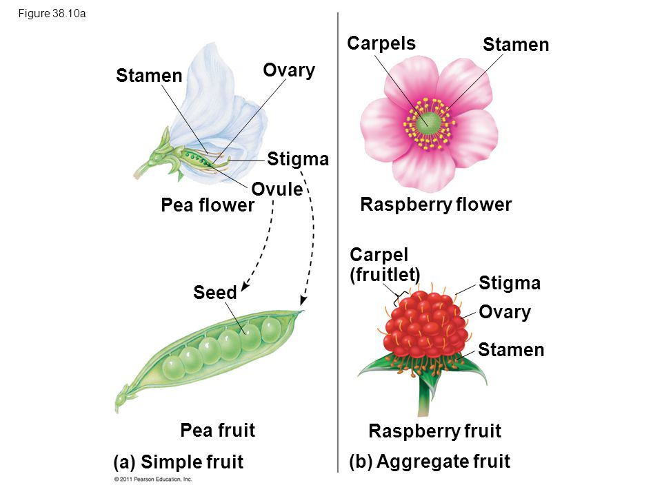 Figure 38.10a Stamen Ovary Stigma Ovule Pea flower Seed Pea fruit (a) Simple fruit (b) Aggregate fruit Carpels Stamen Raspberry flower Carpel (fruitle