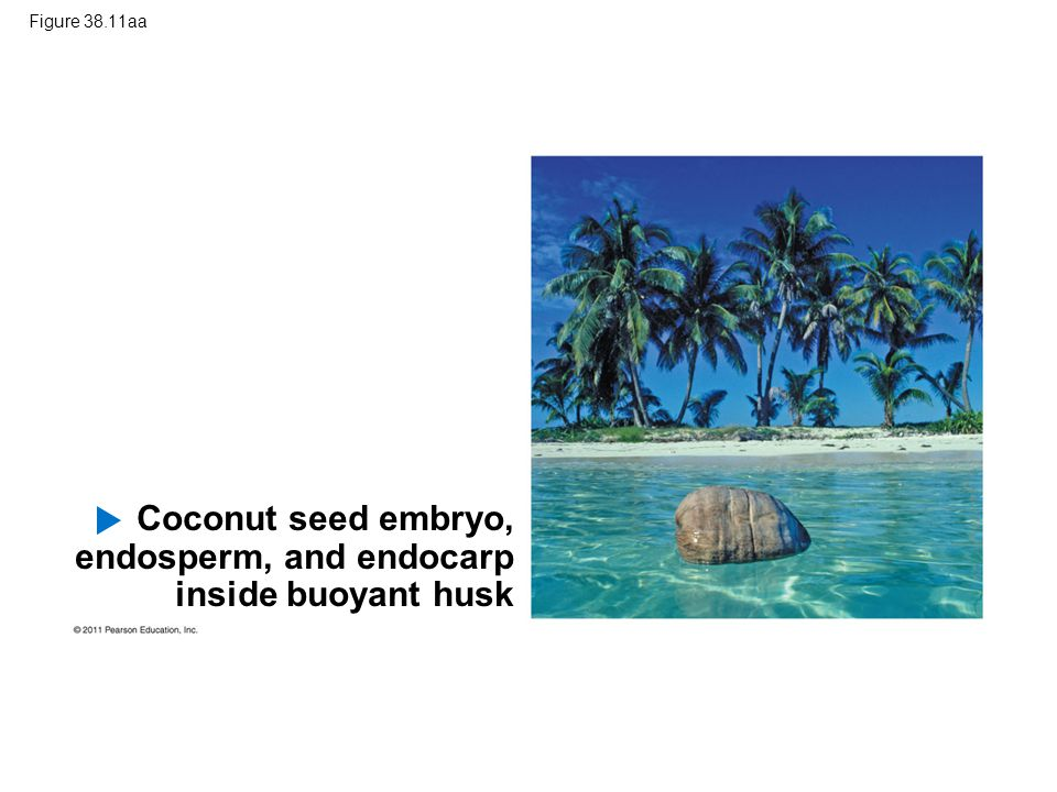 Figure 38.11aa Coconut seed embryo, endosperm, and endocarp inside buoyant husk