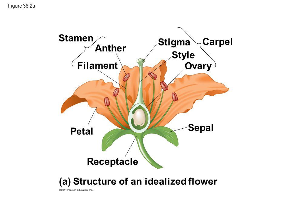 Figure 38.2a Stamen Anther Filament Petal Receptacle Stigma Style Ovary Carpel Sepal (a) Structure of an idealized flower