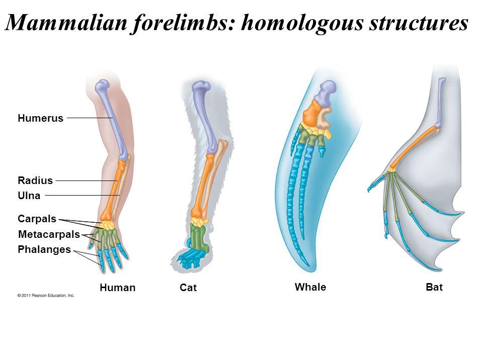 Humerus Radius Ulna Carpals Metacarpals Phalanges Human Cat Whale Bat Mammalian forelimbs: homologous structures