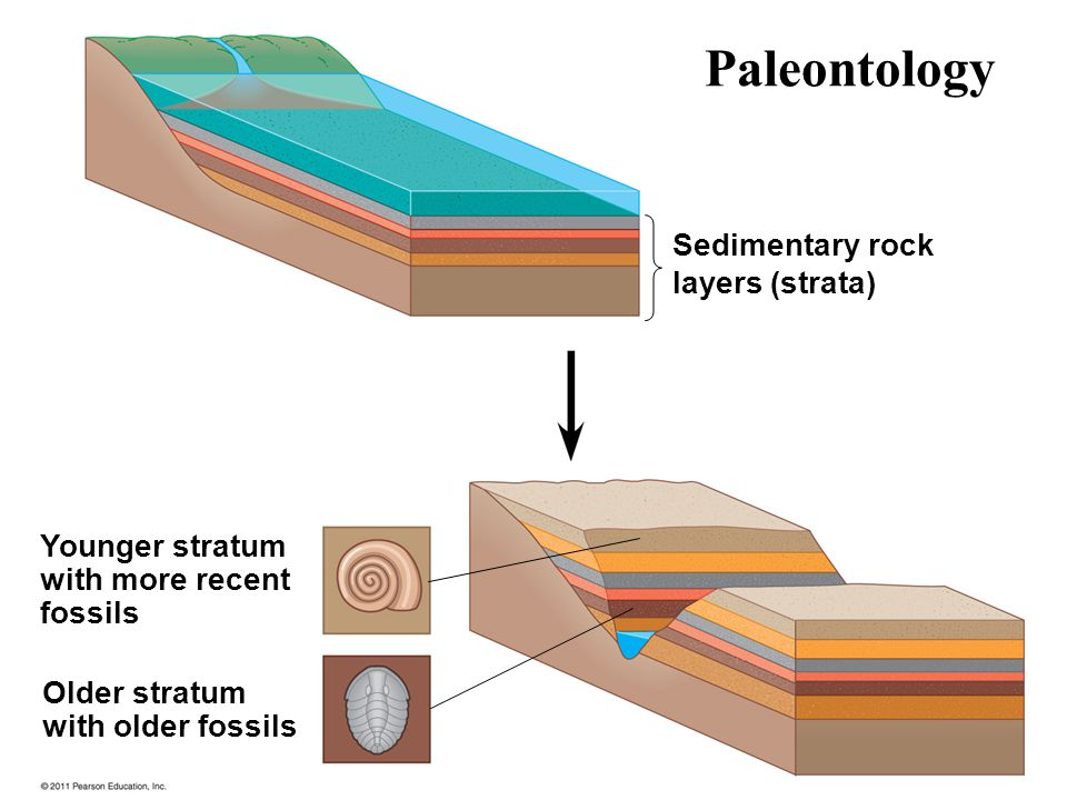 Sedimentary rock layers (strata) Younger stratum with more recent fossils Older stratum with older fossils Paleontology
