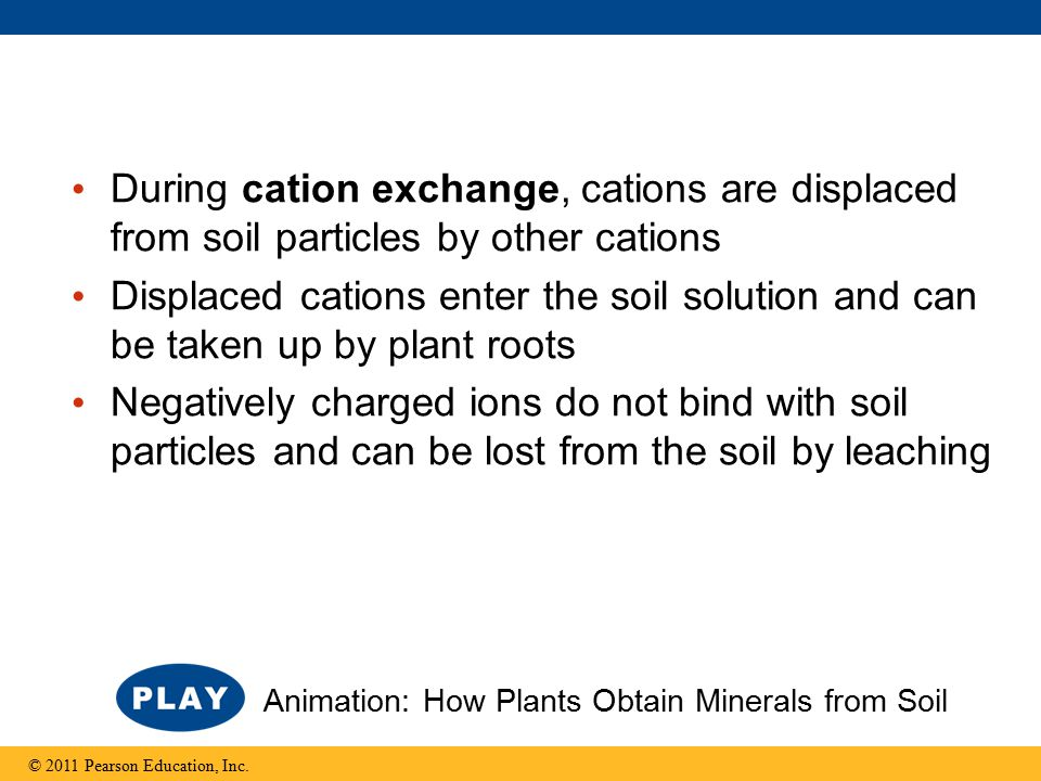 During cation exchange, cations are displaced from soil particles by other cations Displaced cations enter the soil solution and can be taken up by plant roots Negatively charged ions do not bind with soil particles and can be lost from the soil by leaching © 2011 Pearson Education, Inc.