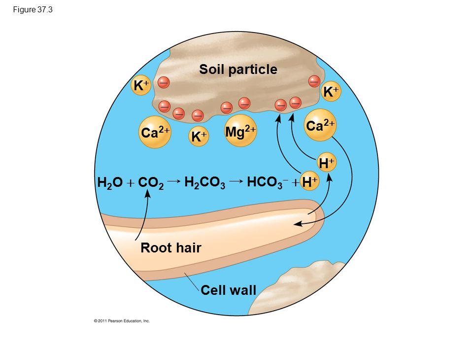Figure 37.3 Soil particle Root hair Cell wall H 2 O  CO 2 HH HH KK KK KK Ca 2  Mg 2           HCO 3   H 2 CO 3