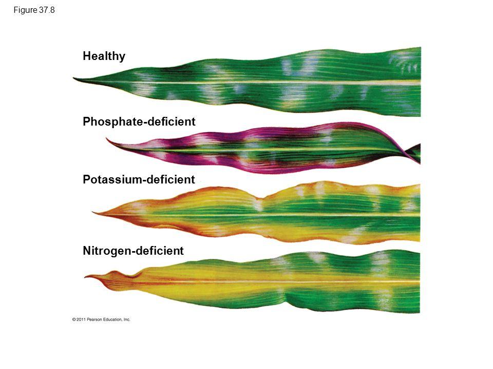 Figure 37.8 Healthy Phosphate-deficient Potassium-deficient Nitrogen-deficient