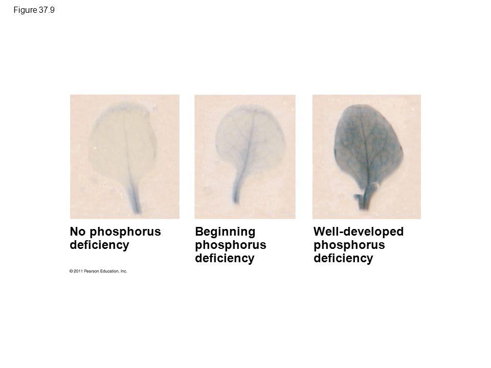 Figure 37.9 No phosphorus deficiency Beginning phosphorus deficiency Well-developed phosphorus deficiency