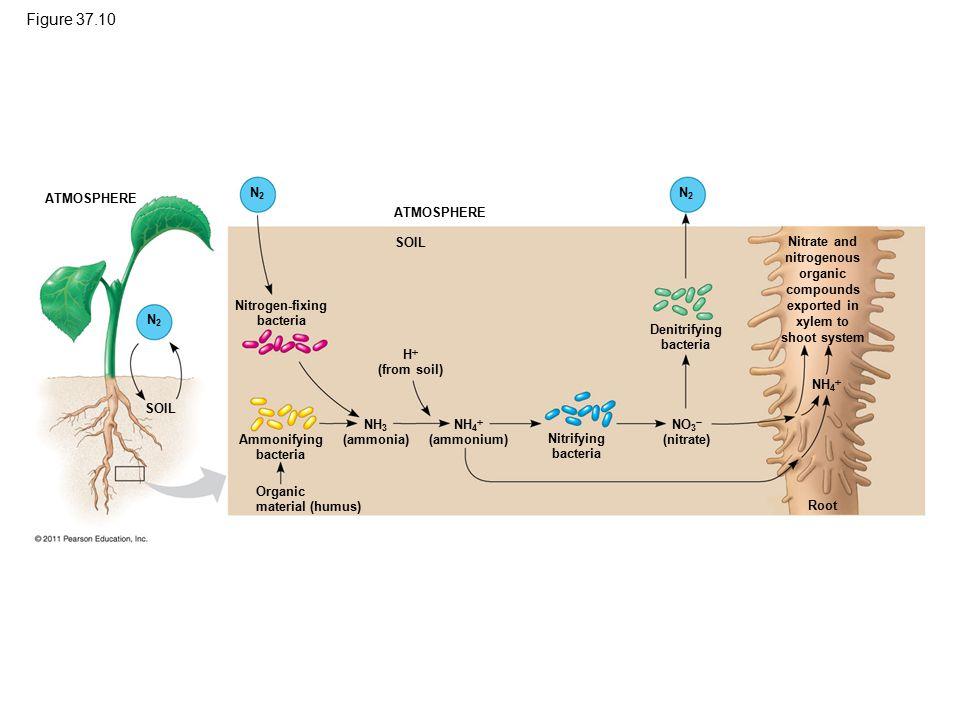 Figure 37.10 ATMOSPHERE SOIL N2N2 N2N2 N2N2 Nitrogen-fixing bacteria Denitrifying bacteria H  (from soil) Ammonifying bacteria Organic material (humu