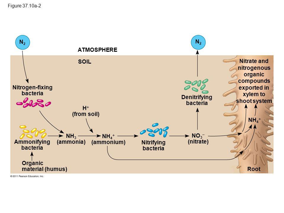 Figure 37.10a-2 ATMOSPHERE N2N2 N2N2 SOIL Nitrogen-fixing bacteria Denitrifying bacteria H  (from soil) Ammonifying bacteria Organic material (humus)