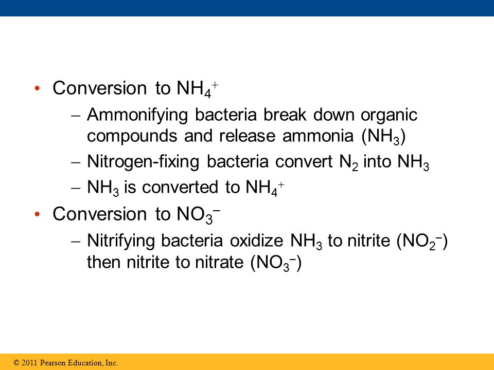 Conversion to NH 4   Ammonifying bacteria break down organic compounds and release ammonia (NH 3 )  Nitrogen-fixing bacteria convert N 2 into NH 3