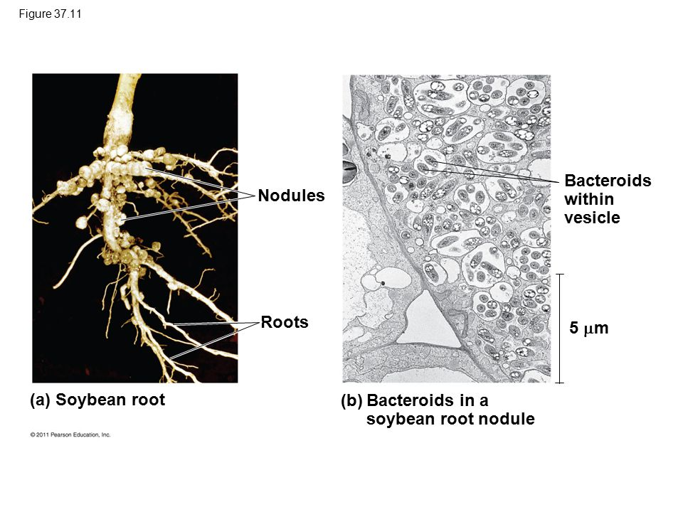 Figure 37.11 (a) Soybean root (b) Bacteroids in a soybean root nodule Nodules Roots 5  m Bacteroids within vesicle