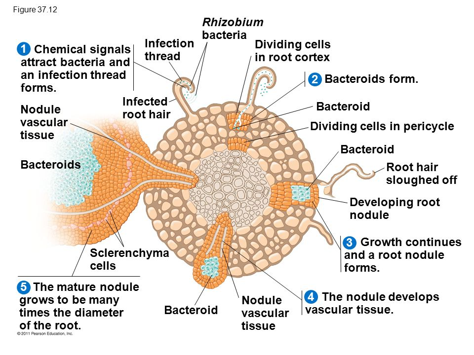 Figure 37.12 Infection thread Rhizobium bacteria Dividing cells in root cortex Chemical signals attract bacteria and an infection thread forms. Infect