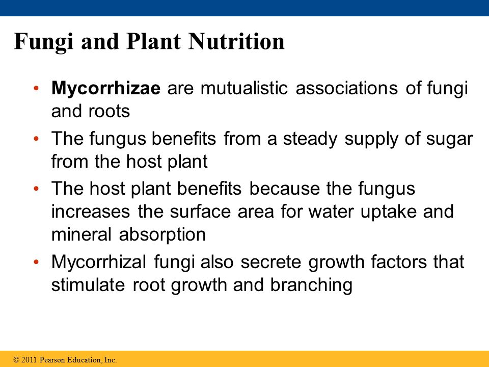 Fungi and Plant Nutrition Mycorrhizae are mutualistic associations of fungi and roots The fungus benefits from a steady supply of sugar from the host