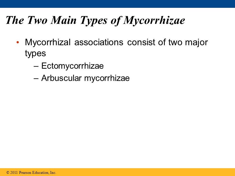 The Two Main Types of Mycorrhizae Mycorrhizal associations consist of two major types –Ectomycorrhizae –Arbuscular mycorrhizae © 2011 Pearson Educatio